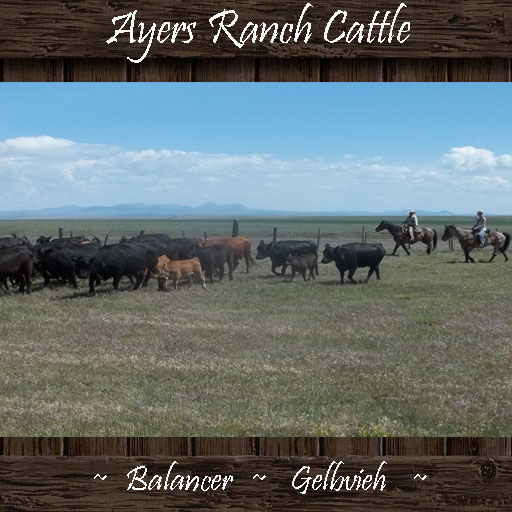 Ayers Ranch Cattle ~ Balancer & Gelbvieh